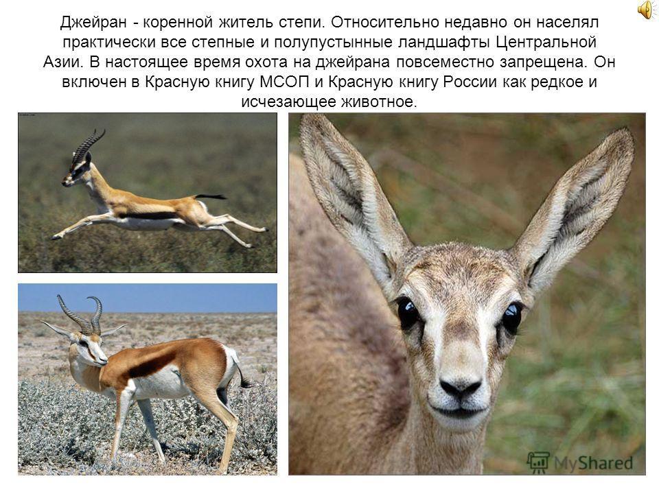 Джейран - коренной житель степи. Относительно недавно он населял практически все степные и полупустынные ландшафты Центральной Азии. В настоящее время охота на джейрана повсеместно запрещена. Он включен в Красную книгу МСОП и Красную книгу России как