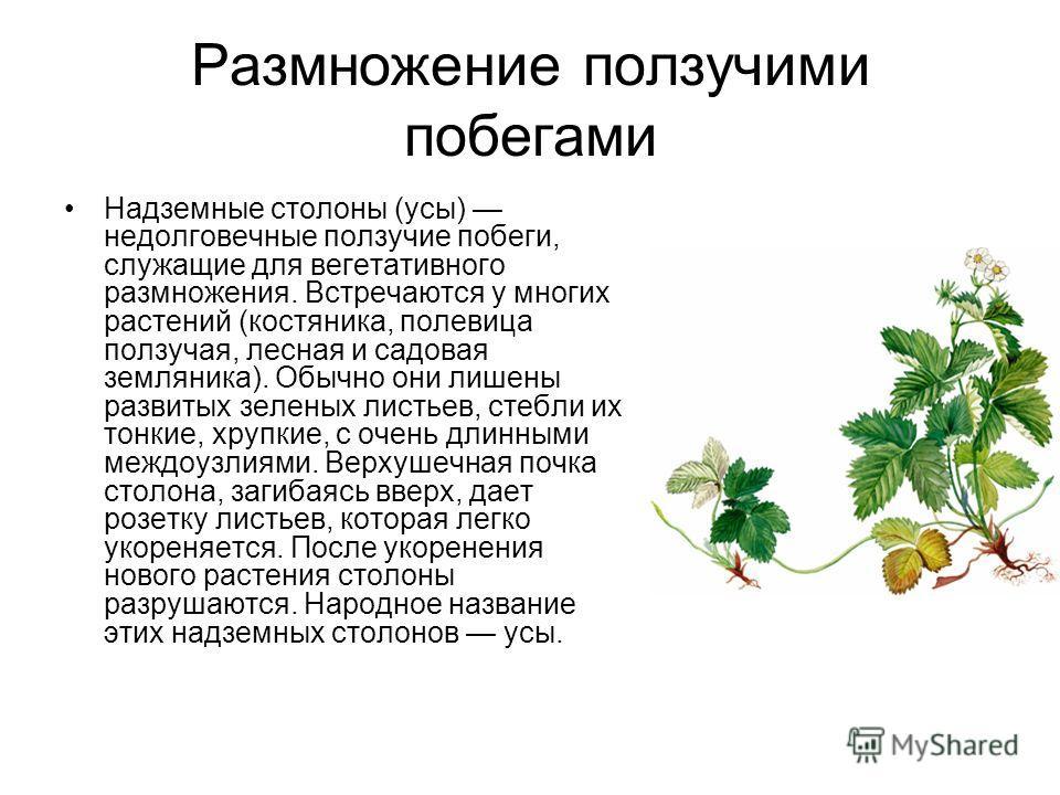 Размножение ползучими побегами Надземные столоны (усы) недолговечные ползучие побеги, служащие для вегетативного размножения. Встречаются у многих растений (костяника, полевица ползучая, лесная и садовая земляника). Обычно они лишены развитых зеленых
