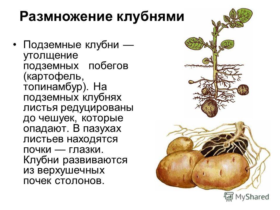 Подземные клубни утолщение подземных побегов (картофель, топинамбур). На подземных клубнях листья редуцированы до чешуек, которые опадают. В пазухах листьев находятся почки глазки. Клубни развиваются из верхушечных почек столонов. Размножение клубням