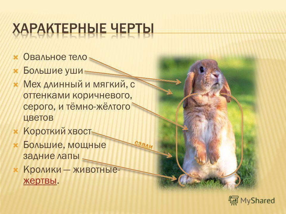 Овальное тело Большие уши Мех длинный и мягкий, с оттенками коричневого, серого, и тёмно-жёлтого цветов Короткий хвост Большие, мощные задние лапы Кролики животные- жертвы. жертвы