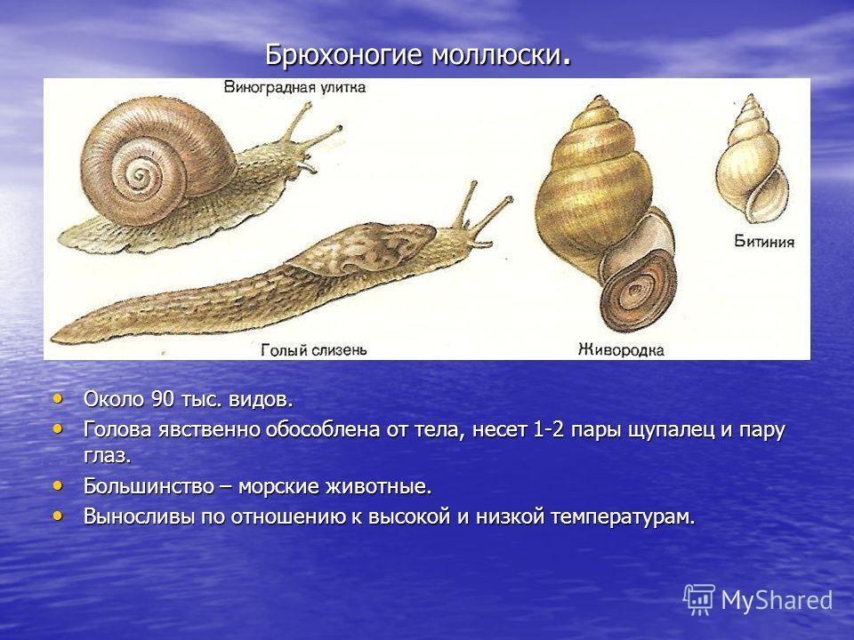 Брюхоногие моллюски. Брюхоногие моллюски. Около 90 тыс. видов. Около 90 тыс. видов. Голова явственно обособлена от тела, несет 1-2 пары щупалец и пару глаз. Голова явственно обособлена от тела, несет 1-2 пары щупалец и пару глаз. Большинство – морски