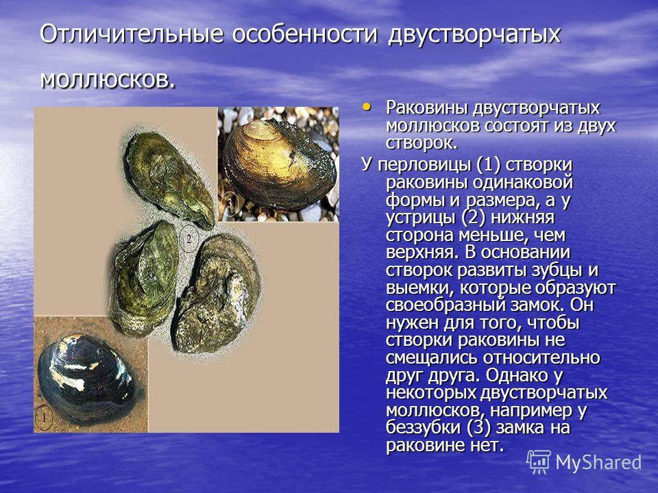 Отличительные особенности двустворчатых моллюсков. Раковины двустворчатых моллюсков состоят из двух створок. Раковины двустворчатых моллюсков состоят из двух створок. У перловицы (1) створки раковины одинаковой формы и размера, а у устрицы (2) нижняя