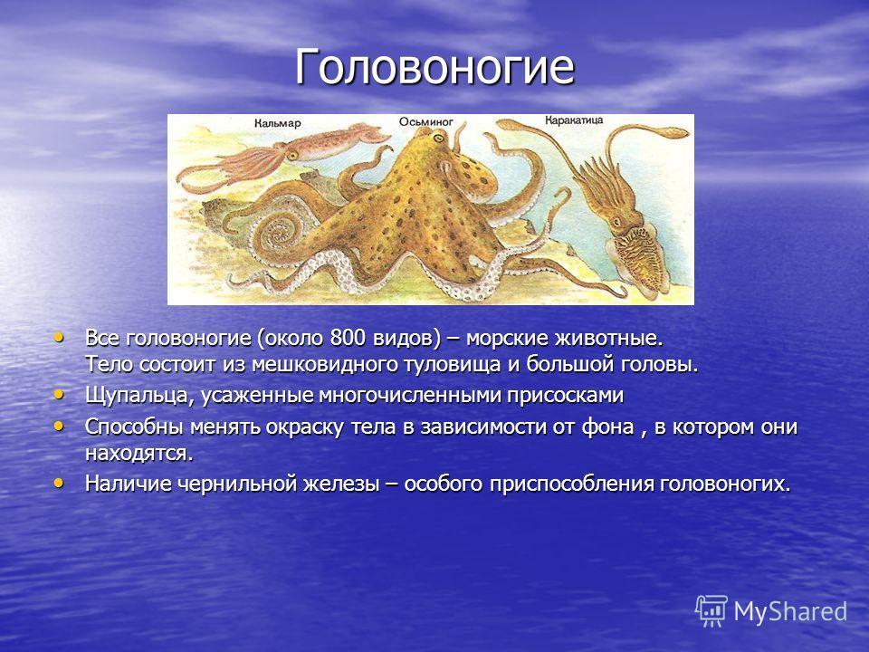 Головоногие Головоногие Все головоногие (около 800 видов) – морские животные. Тело состоит из мешковидного туловища и большой головы. Все головоногие (около 800 видов) – морские животные. Тело состоит из мешковидного туловища и большой головы. Щупаль