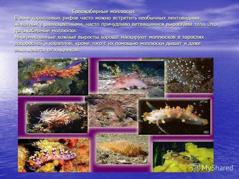 Голожаберные моллюски. В зоне коралловых рифов часто можно встретить необычных лентовидных животных с разноцветными, часто причудливо ветвящимися выростами тела. Это голожаберные моллюски. Многочисленные кожные выросты хорошо маскируют моллюсков в за