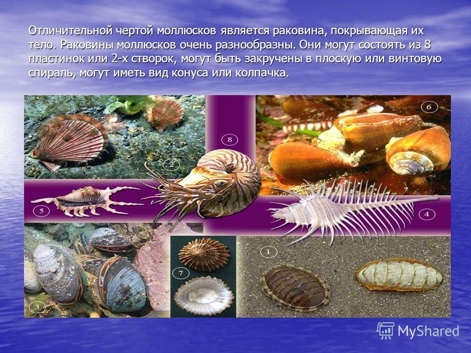 Отличительной чертой моллюсков является раковина, покрывающая их тело. Раковины моллюсков очень разнообразны. Они могут состоять из 8 пластинок или 2-х створок, могут быть закручены в плоскую или винтовую спираль, могут иметь вид конуса или колпачка.