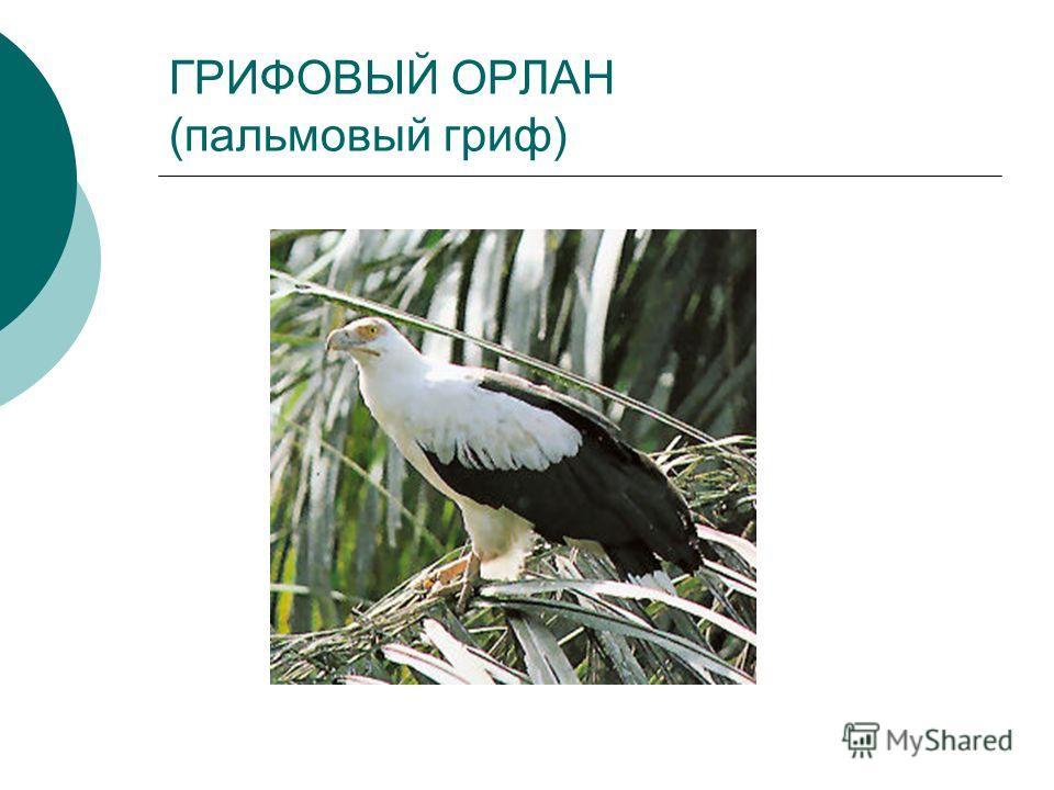 ГРИФОВЫЙ ОРЛАН (пальмовый гриф)