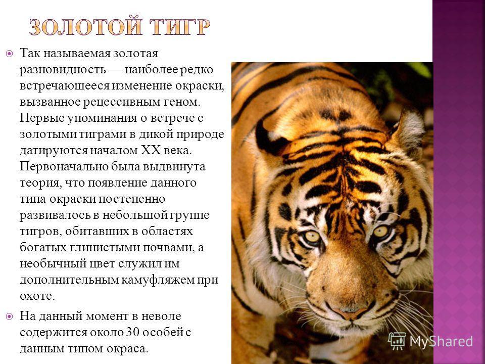 Так называемая золотая разновидность наиболее редко встречающееся изменение окраски, вызванное рецессивным геном. Первые упоминания о встрече с золотыми тиграми в дикой природе датируются началом XX века. Первоначально была выдвинута теория, что появ