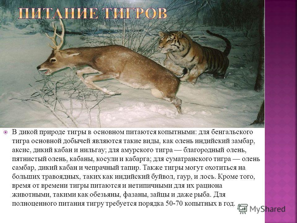 В дикой природе тигры в основном питаются копытными: для бенгальского тигра основной добычей являются такие виды, как олень индийский замбар, аксис, дикий кабан и нильгау; для амурского тигра благородный олень, пятнистый олень, кабаны, косули и кабар