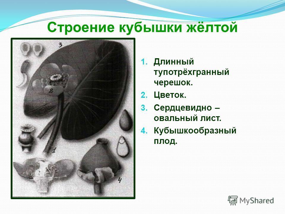 Строение кубышки жёлтой 1. Длинный тупотрёхгранный черешок. 2. Цветок. 3. Сердцевидно – овальный лист. 4. Кубышкообразный плод.