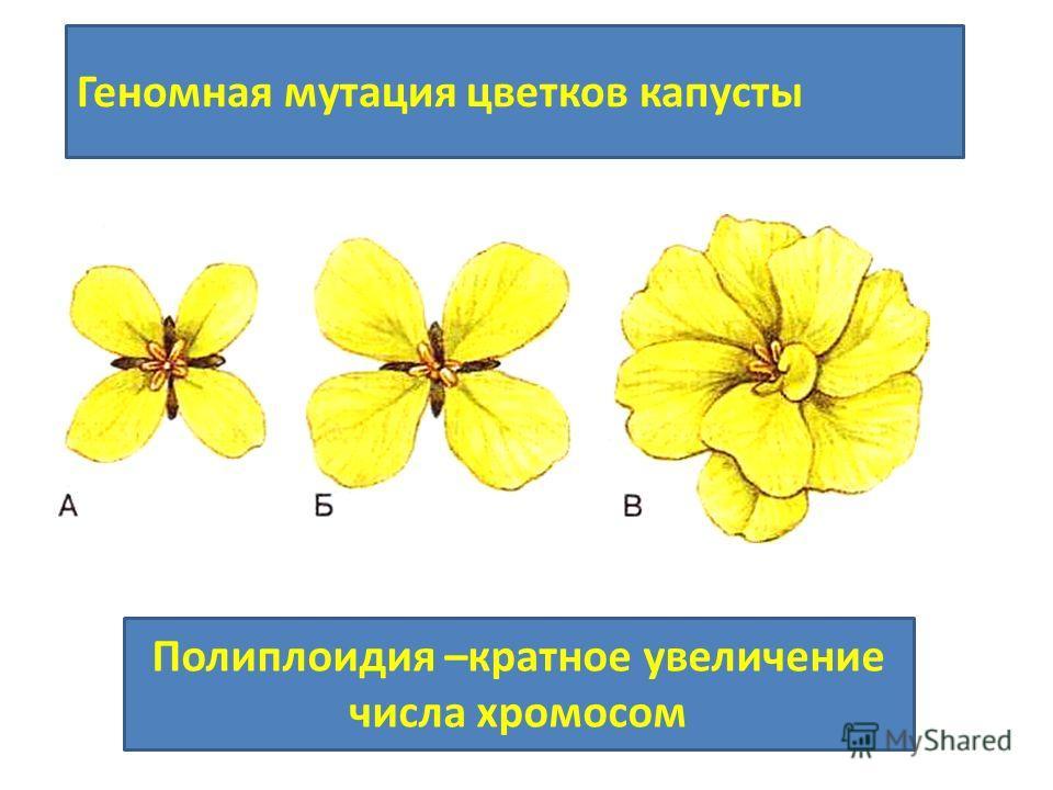 Геномная мутация цветков капусты Полиплоидия –кратное увеличение числа хромосом