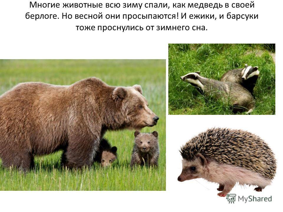 Многие животные всю зиму спали, как медведь в своей берлоге. Но весной они просыпаются! И ежики, и барсуки тоже проснулись от зимнего сна.
