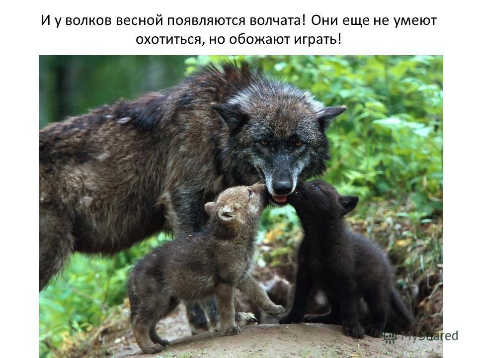 И у волков весной появляются волчата! Они еще не умеют охотиться, но обожают играть!