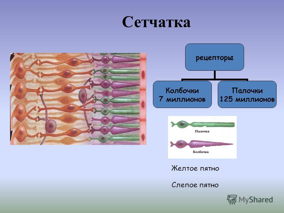 Сетчатка рецепторы Колбочки 7 миллионов Палочки 125 миллионов Желтое пятно Слепое пятно