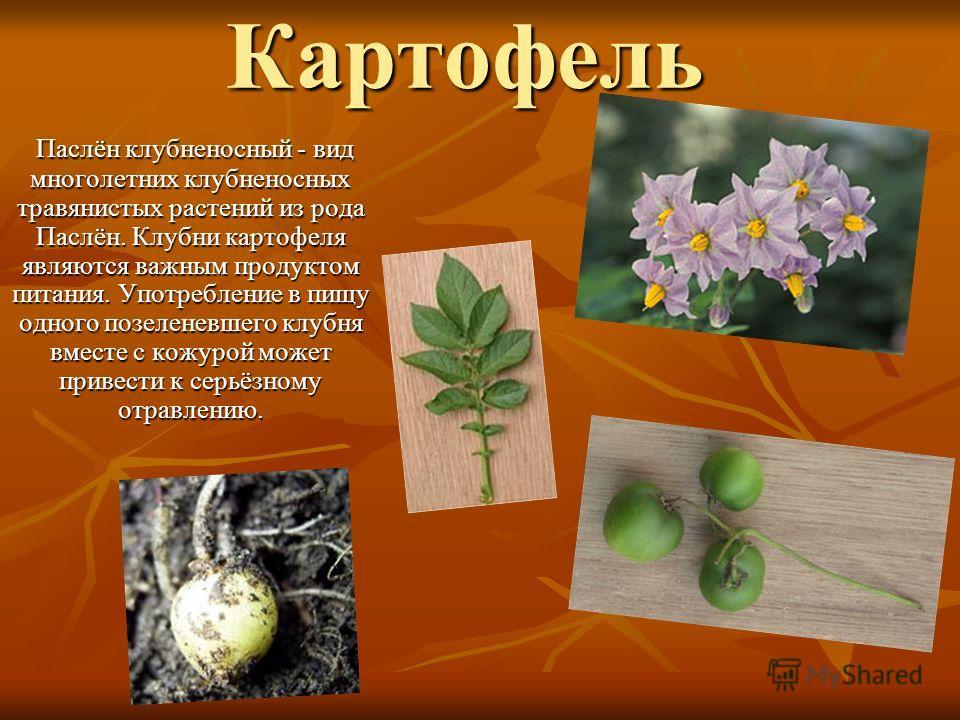 Картофель Паслён клубненосный - вид многолетних клубненосных травянистых растений из рода Паслён. Клубни картофеля являются важным продуктом питания. Употребление в пищу одного позеленевшего клубня вместе с кожурой может привести к серьёзному отравле