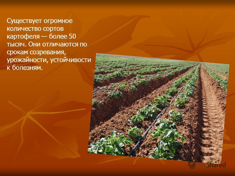 Существует огромное количество сортов картофеля более 50 тысяч. Они отличаются по срокам созревания, урожайности, устойчивости к болезням.