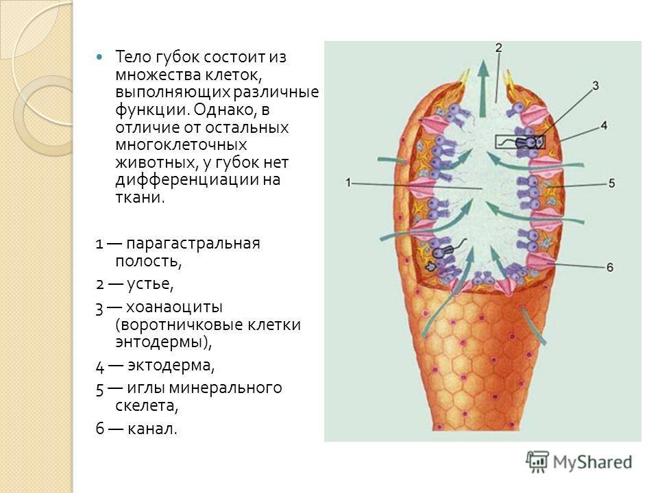 Тело губок состоит из множества клеток, выполняющих различные функции. Однако, в отличие от остальных многоклеточных животных, у губок нет дифференциации на ткани. 1 парагастральная полость, 2 устье, 3 хоанаоциты ( воротничковые клетки энтодермы ), 4