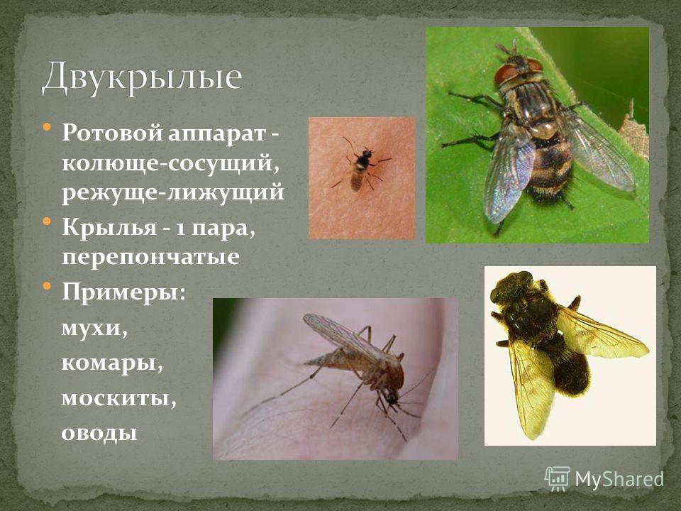 Ротовой аппарат - колюще-сосущий, режуще-лижущий Крылья - 1 пара, перепончатые Примеры: мухи, комары, москиты, оводы