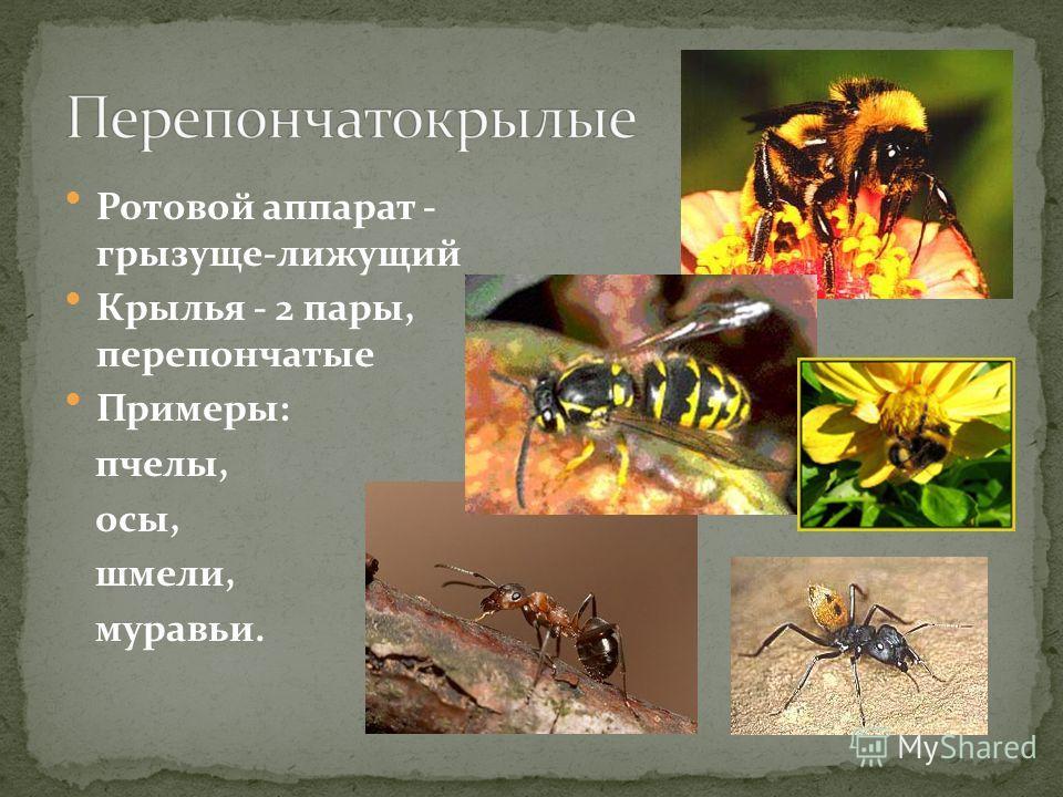 Ротовой аппарат - грызуще-лижущий Крылья - 2 пары, перепончатые Примеры: пчелы, осы, шмели, муравьи.