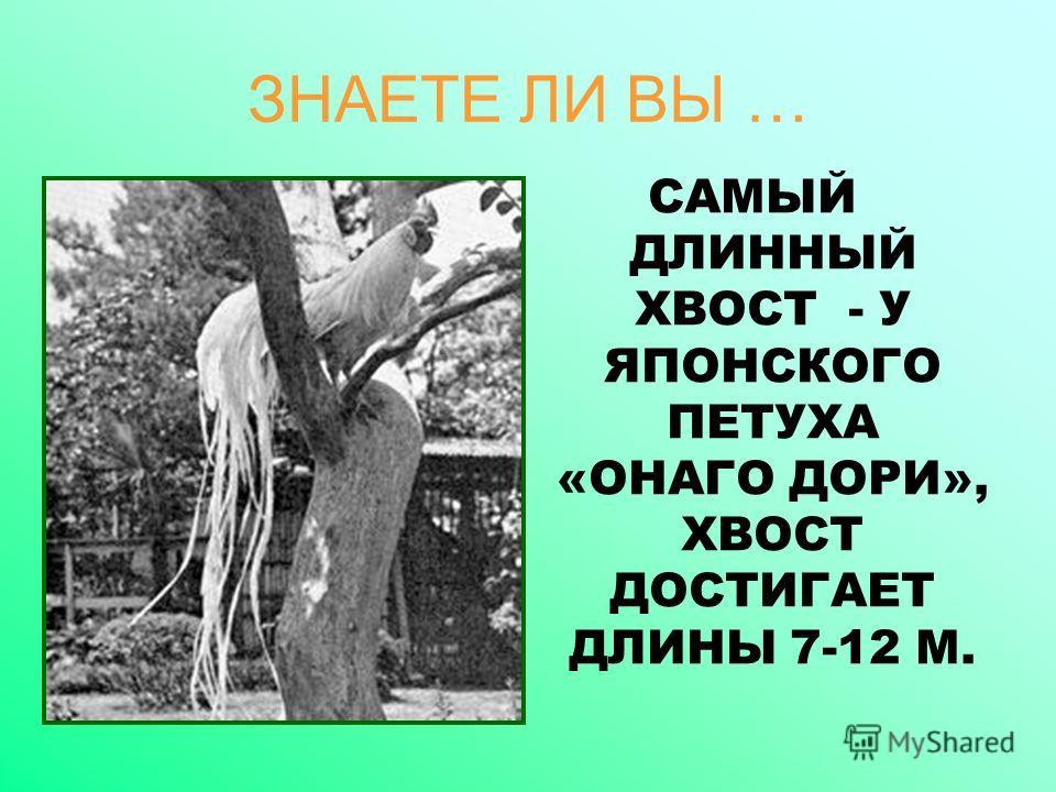 ЗНАЕТЕ ЛИ ВЫ … САМЫЙ ДЛИННЫЙ ХВОСТ - У ЯПОНСКОГО ПЕТУХА «ОНАГО ДОРИ», ХВОСТ ДОСТИГАЕТ ДЛИНЫ 7-12 М.