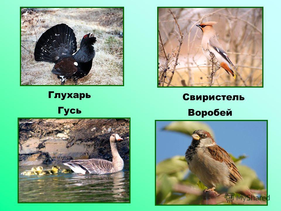 Свиристель Воробей Глухарь Гусь