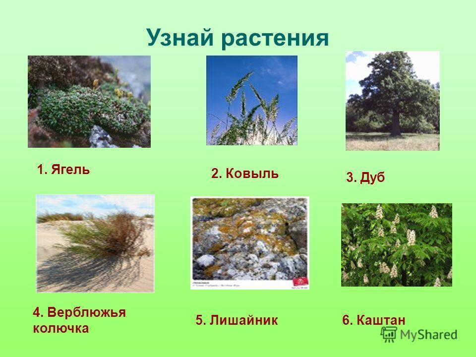 Узнай растения 5. Лишайник 2. Ковыль 3. Дуб 4. Верблюжья колючка 1. Ягель 6. Каштан