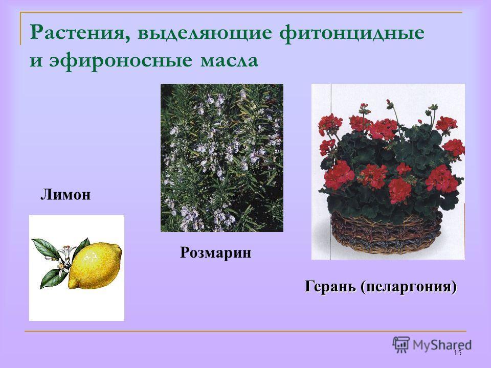 15 Растения, выделяющие фитонцидные и эфироносные масла Герань (пеларгония) Розмарин Лимон