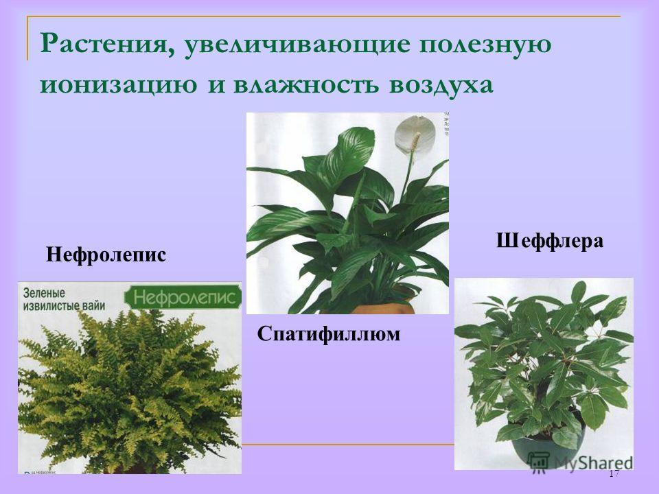 17 Растения, увеличивающие полезную ионизацию и влажность воздуха Нефролепис Спатифиллюм Шеффлера