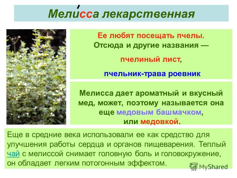 Мелисса дает ароматный и вкусный мед, может, поэтому называется она еще медовым башмачком, или медовкой. Ее любят посещать пчелы. Отсюда и другие названия пчелиный лист, пчельник-трава роевник Мелисса лекарственная Еще в средние века использовали ее