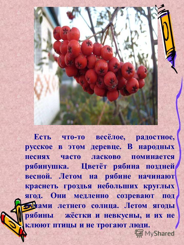 Есть что-то весёлое, радостное, русское в этом деревце. В народных песнях часто ласково поминается рябинушка. Цветёт рябина поздней весной. Летом на рябине начинают краснеть гроздья небольших круглых ягод. Они медленно созревают под лучами летнего со