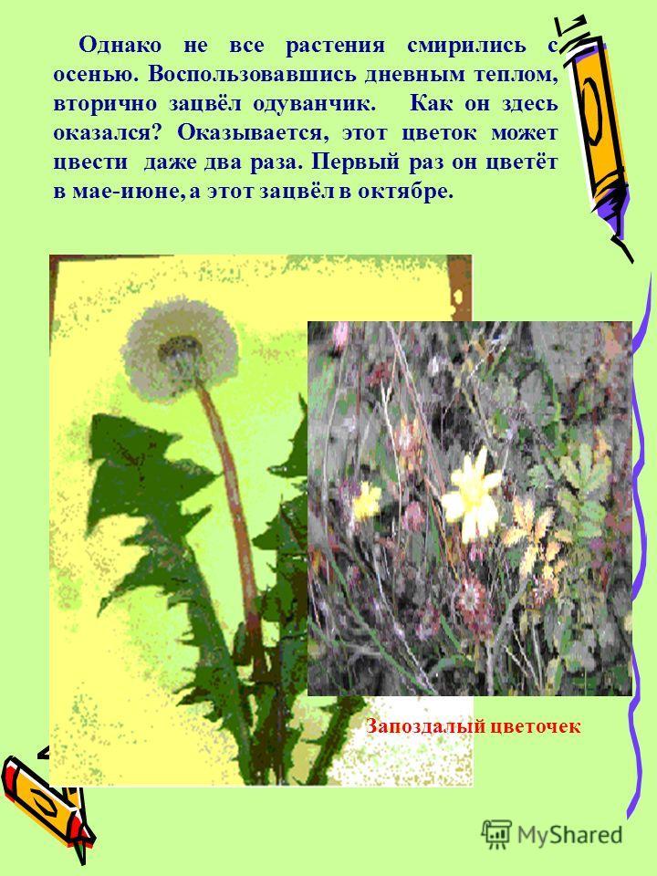 О днако не все растения смирились с осенью. Воспользовавшись дневным теплом, вторично зацвёл одуванчик. Как он здесь оказался? Оказывается, этот цветок может цвести даже два раза. Первый раз он цветёт в мае-июне, а этот зацвёл в октябре. Запоздалый ц