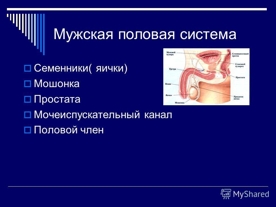 Мужская половая система Семенники( яички) Мошонка Простата Мочеиспускательный канал Половой член