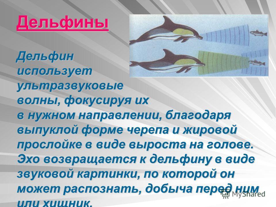 Дельфины Дельфин использует ультразвуковые волны, фокусируя их в нужном направлении, благодаря выпуклой форме черепа и жировой прослойке в виде выроста на голове. Эхо возвращается к дельфину в виде звуковой картинки, по которой он может распознать, д