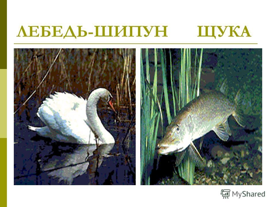 ЛЕБЕДЬ-ШИПУН ЩУКА