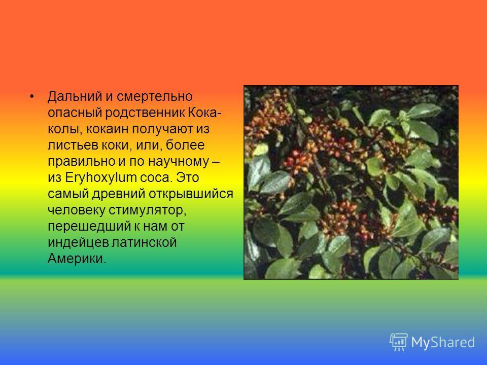 Дальний и смертельно опасный родственник Кока- колы, кокаин получают из листьев коки, или, более правильно и по научному – из Eryhoxylum coca. Это самый древний открывшийся человеку стимулятор, перешедший к нам от индейцев латинской Америки.