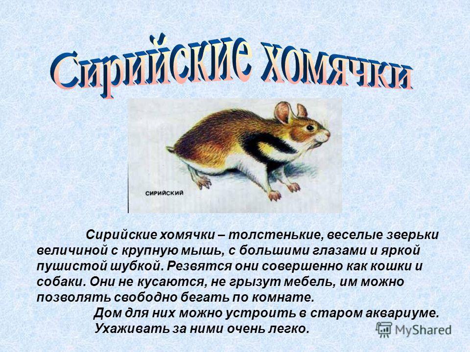 Сирийские хомячки – толстенькие, веселые зверьки величиной с крупную мышь, с большими глазами и яркой пушистой шубкой. Резвятся они совершенно как кошки и собаки. Они не кусаются, не грызут мебель, им можно позволять свободно бегать по комнате. Дом д