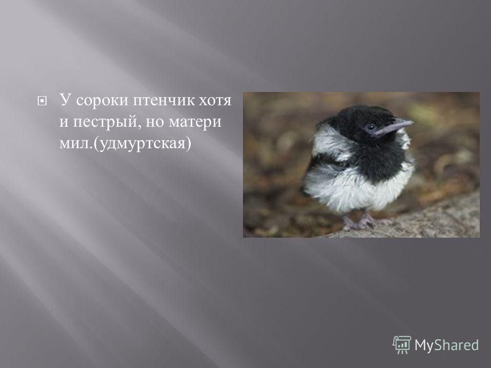 У сороки птенчик хотя и пестрый, но матери мил.( удмуртская )