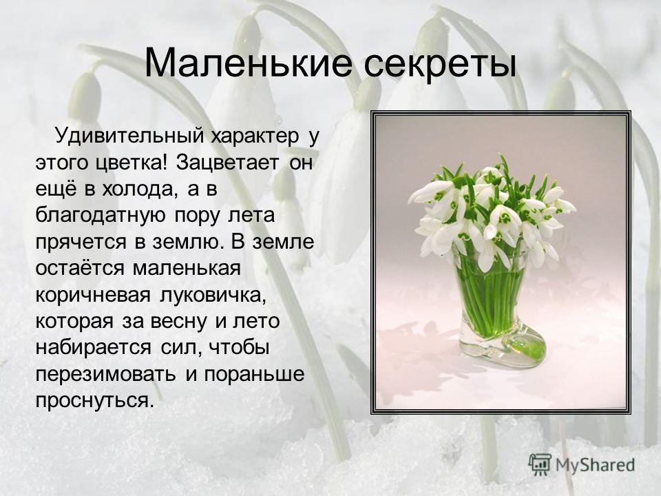 Маленькие секреты Удивительный характер у этого цветка! Зацветает он ещё в холода, а в благодатную пору лета прячется в землю. В земле остаётся маленькая коричневая луковичка, которая за весну и лето набирается сил, чтобы перезимовать и пораньше прос