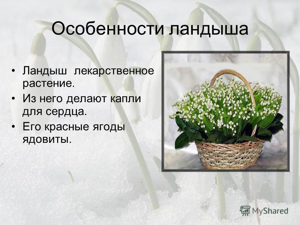 Особенности ландыша Ландыш лекарственное растение. Из него делают капли для сердца. Его красные ягоды ядовиты.