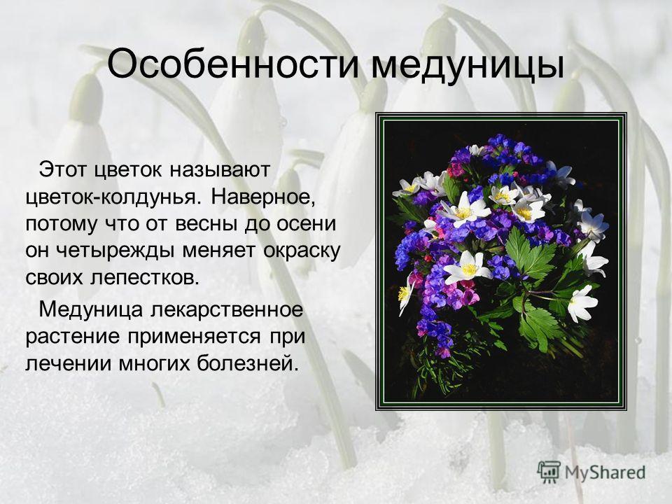 Особенности медуницы Этот цветок называют цветок-колдунья. Наверное, потому что от весны до осени он четырежды меняет окраску своих лепестков. Медуница лекарственное растение применяется при лечении многих болезней.