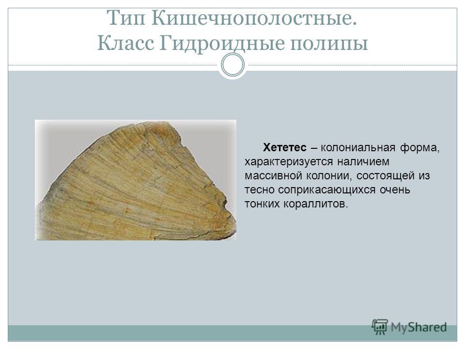 Тип Кишечнополостные. Класс Гидроидные полипы Хететес – колониальная форма, характеризуется наличием массивной колонии, состоящей из тесно соприкасающихся очень тонких кораллитов.