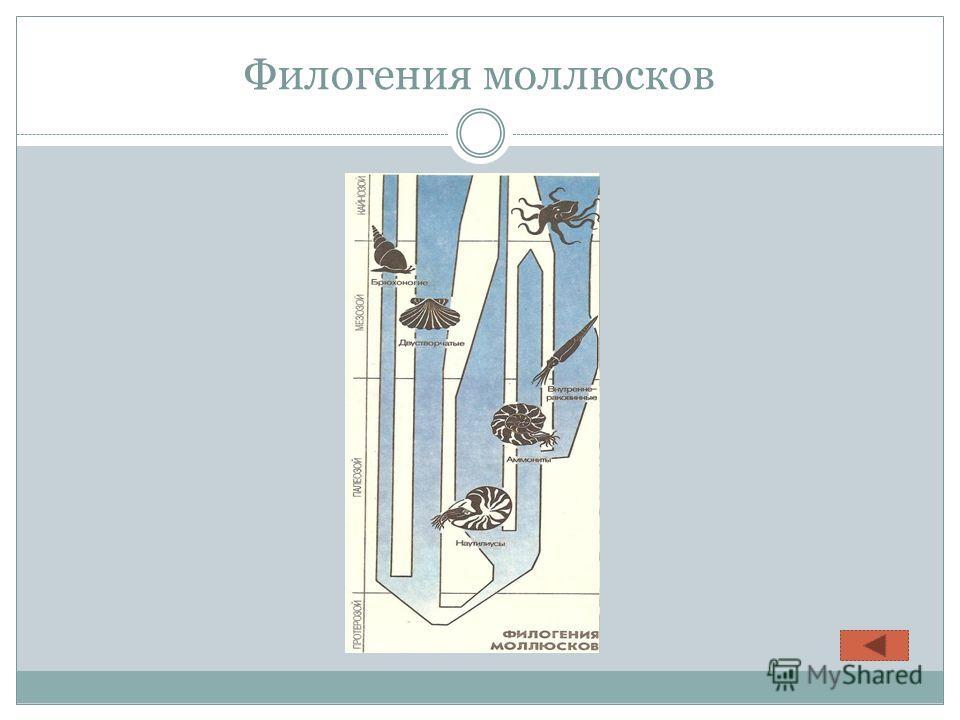Филогения моллюсков