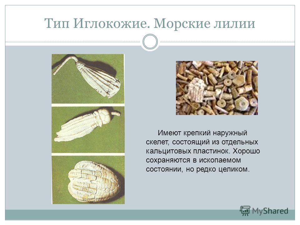 Тип Иглокожие. Морские лилии Имеют крепкий наружный скелет, состоящий из отдельных кальцитовых пластинок. Хорошо сохраняются в ископаемом состоянии, но редко целиком.