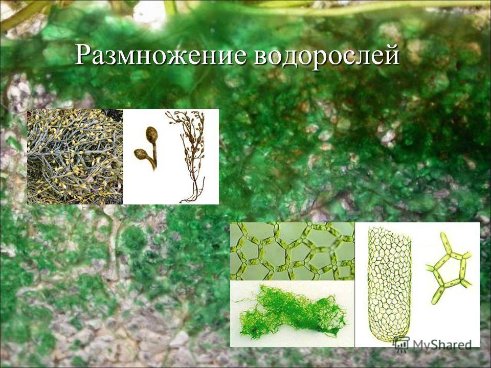 Размножение водорослей Размножение водорослей