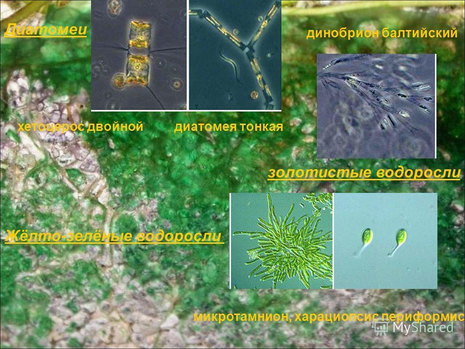Диатомеи хетоцерос двойной диатомея тонкая золотистые водоросли динобрион балтийский Жёлто-зелёные водоросли микротамнион, харациопсис периформис