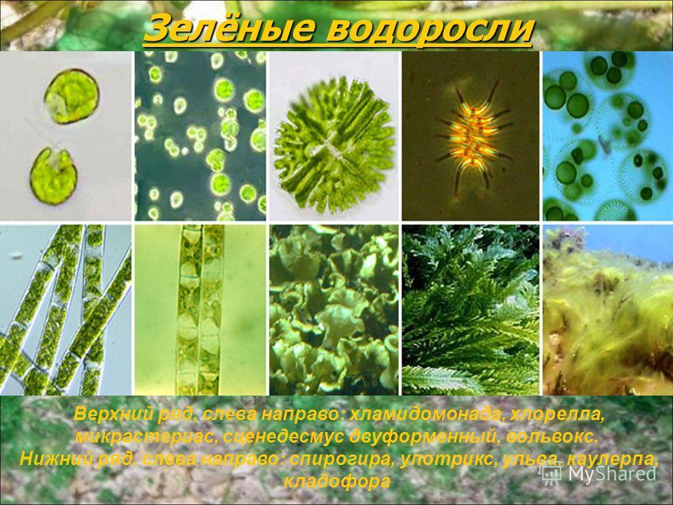 Зелёные водоросли Верхний ряд, слева направо: хламидомонада, хлорелла, микрастериас, сценедесмус двуформенный, вольвокс. Нижний ряд, слева направо: спирогира, улотрикс, ульва, каулерпа, кладофора