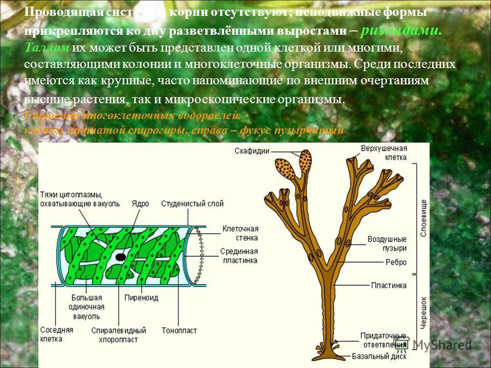 Проводящая система и корни отсутствуют; неподвижные формы прикрепляются ко дну разветвлёнными выростами – ризоидами. Таллом их может быть представлен одной клеткой или многими, составляющими колонии и многоклеточные организмы. Среди последних имеются