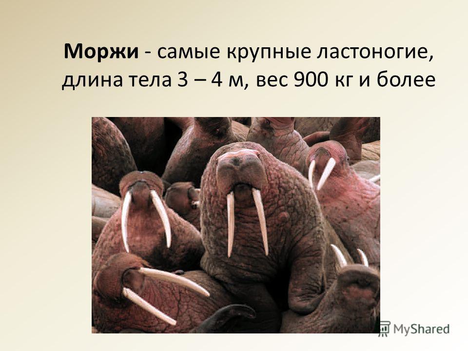 Моржи - самые крупные ластоногие, длина тела 3 – 4 м, вес 900 кг и более