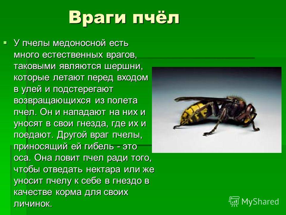 Враги пчёл У пчелы медоносной есть много естественных врагов, таковыми являются шершни, которые летают перед входом в улей и подстерегают возвращающихся из полета пчел. Он и нападают на них и уносят в свои гнезда, где их и поедают. Другой враг пчелы,