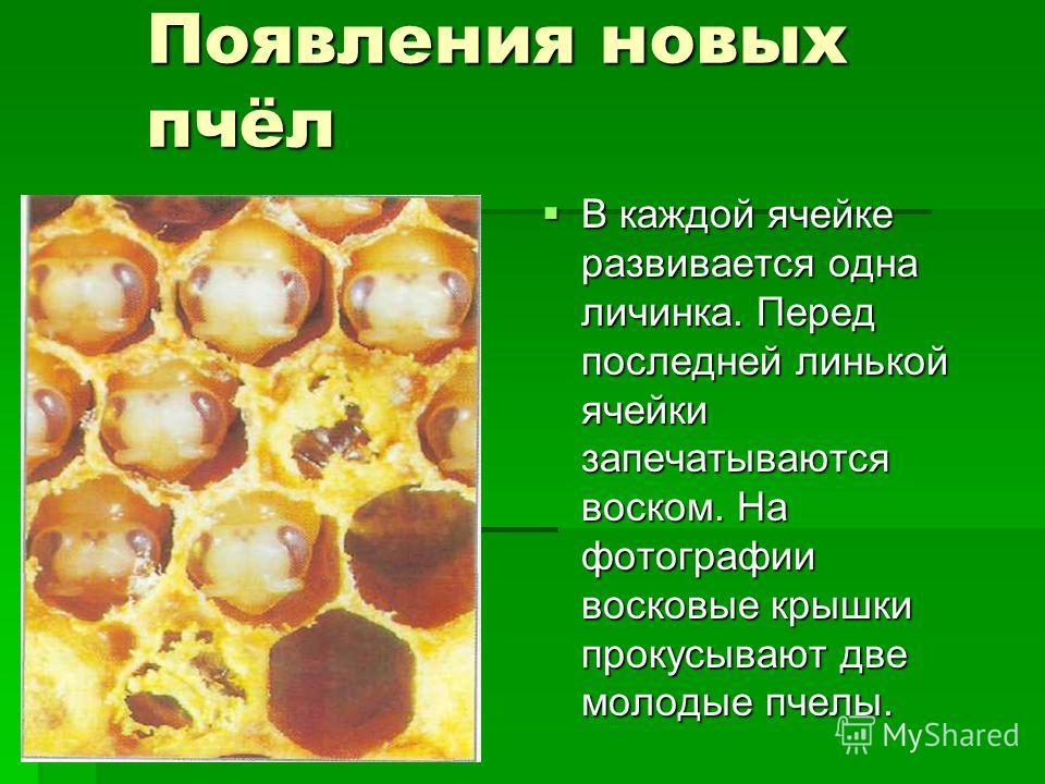 Появления новых пчёл В каждой ячейке развивается одна личинка. Перед последней линькой ячейки запечатываются воском. На фотографии восковые крышки прокусывают две молодые пчелы. В каждой ячейке развивается одна личинка. Перед последней линькой ячейки