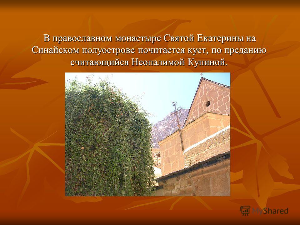 В православном монастыре Святой Екатерины на Синайском полуострове почитается куст, по преданию считающийся Неопалимой Купиной. В православном монастыре Святой Екатерины на Синайском полуострове почитается куст, по преданию считающийся Неопалимой Куп